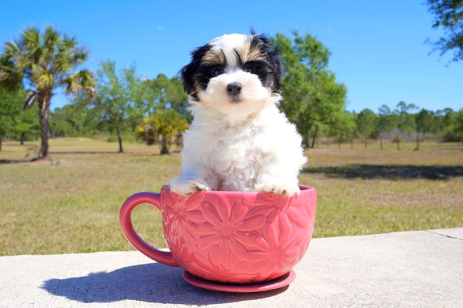 Chipper is the Morkie for sale near St. Pete! 1