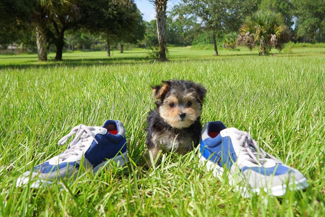 Morkie for sale! 1