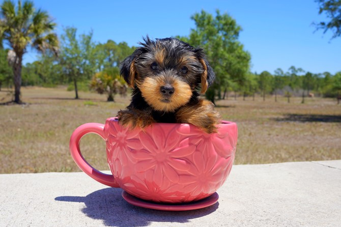 Meet Colton the Yorkie for sale in Florida! 1