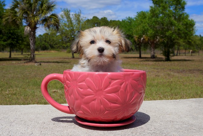 Alexa is the Havanese for sale near St. Pete! 3