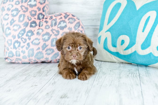 Shorkie puppy for sale! 2