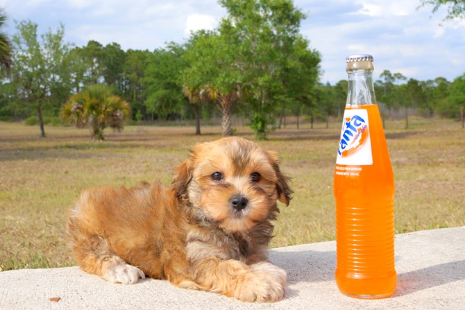 Geo is the Morkie for sale near St. Pete! 3