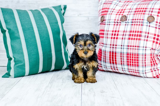 Yorkie Puppy For Sale! 5