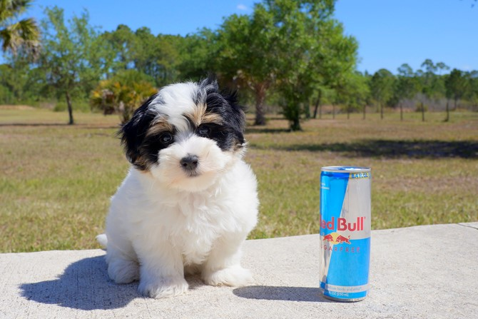 Chipper is the Morkie for sale near St. Pete! 2