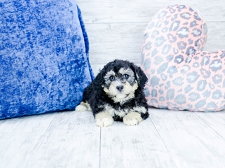 Puppies For Sale In Florida Buy Teacup Small Breeds Puppies