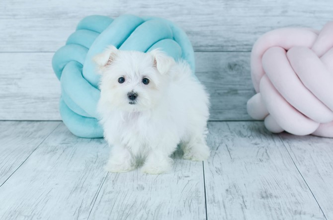 Maltese Puppy for sale! 3