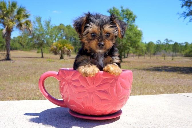 Melvin is the Yorkie for sale near St. Pete. 4