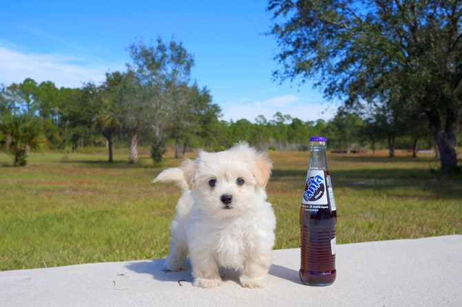 Malti-poo Puppy for Sale! 4