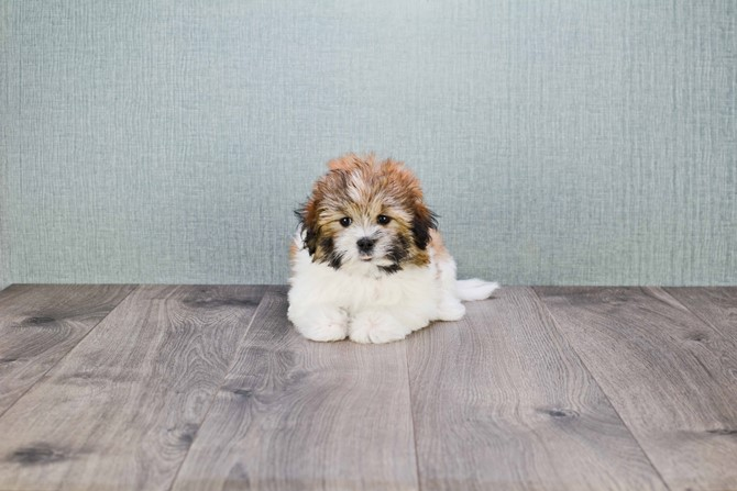 Havanese pup for sale! 3