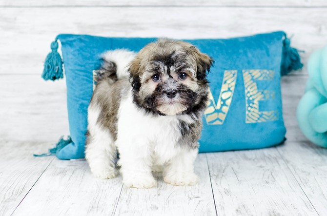 Havanese puppy for sale! 7