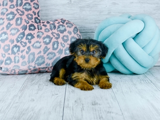 Yorkie Puppies For Sale In Florida Buy Teacup Yorkshire Terrier