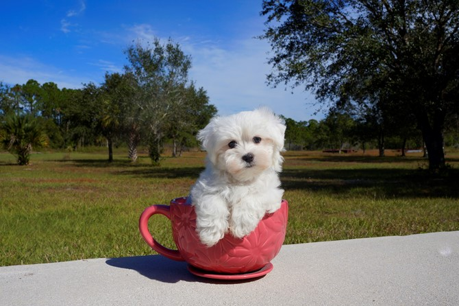 Maltese for sale! 2