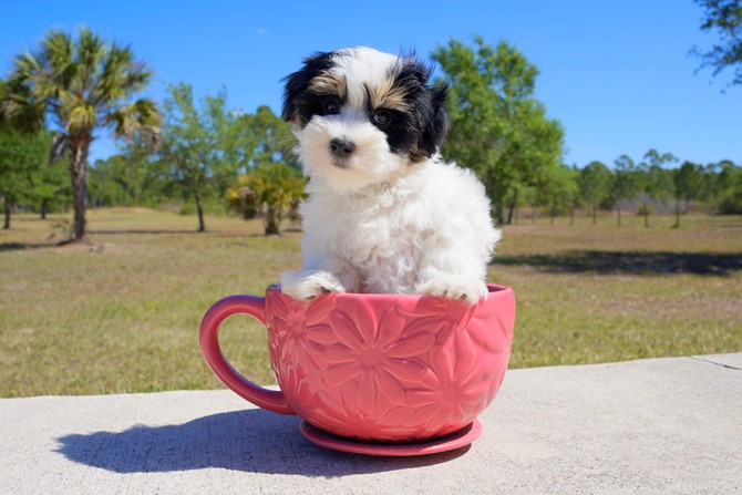 Chipper is the Morkie for sale near St. Pete! 4