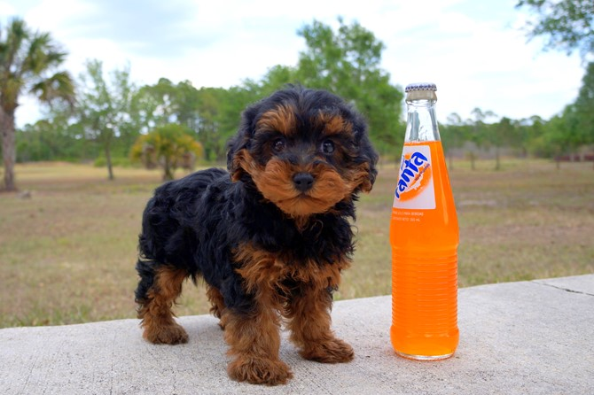 Claire is the Yorki-poo for sale in Florida! 6