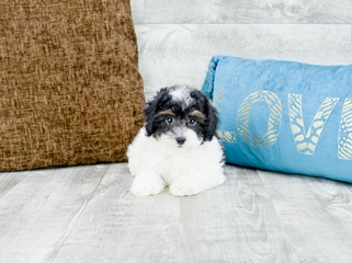 Maltipoo Puppies For Sale Florida | Maltese and Poodle Mix
