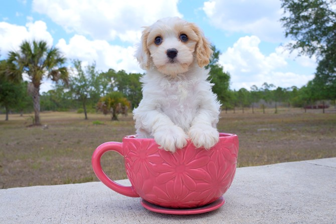 Meet Shara the Cavachon for sale near St. Pete! 3