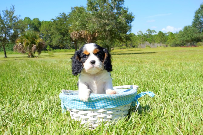 Cavalier for sale! 3