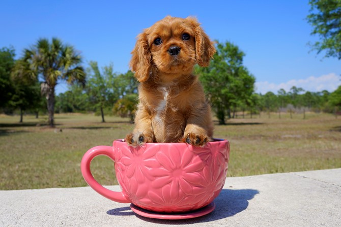 Ruby is the Cavalier for sale near St. Pete! 1