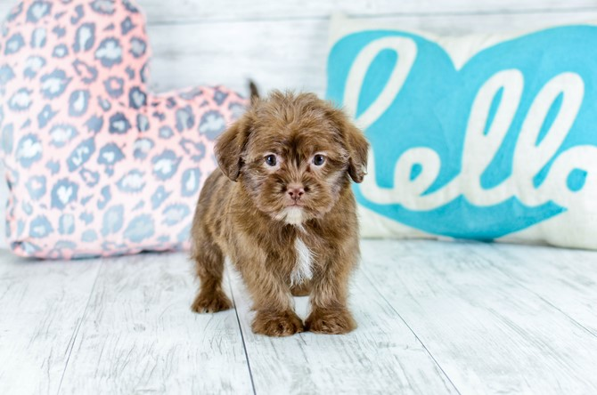 Shorkie puppy for sale! 6
