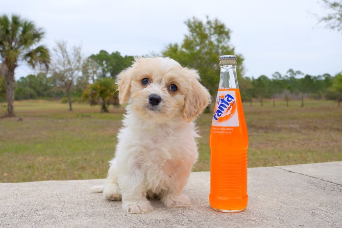 Jacob is the Cavachon for sale in Florida! 4