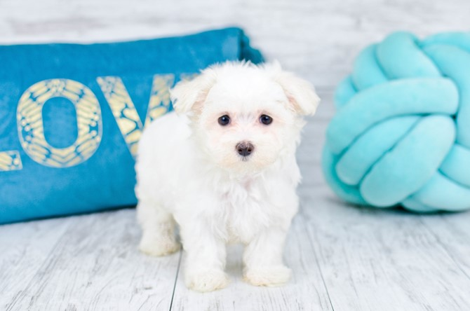Maltese Puppy for sale! 5