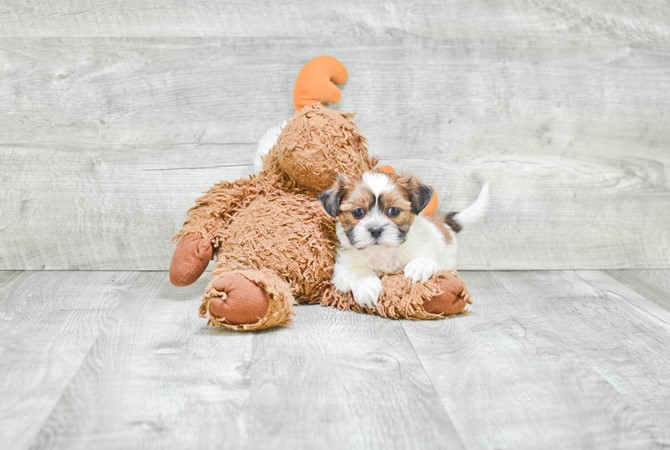 Teddybear Puppy for sale! 1