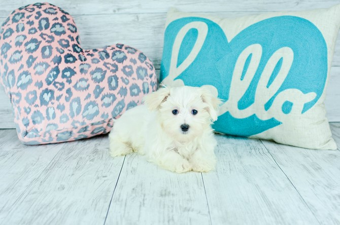 Maltese Puppy for sale! 1