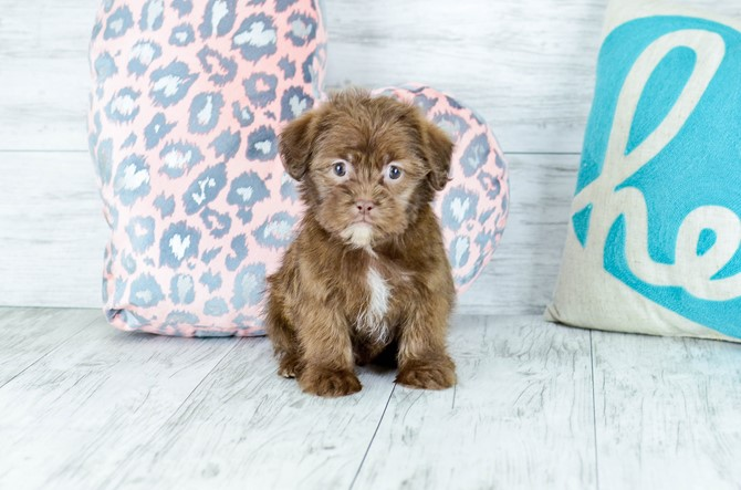 Shorkie puppy for sale! 3