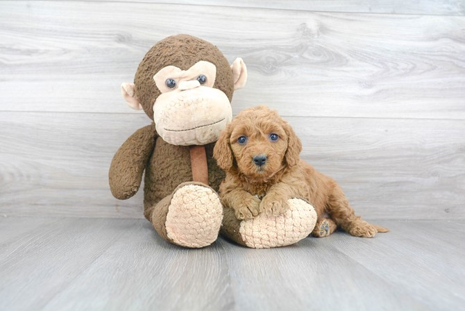 Mini-Goldendoodle for sale!  F1B 1