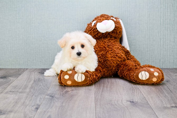 Malti-poo for Sale! 1