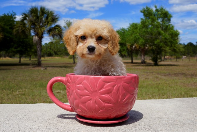 Bentley is the Cavapoo for sale in Florida! 4