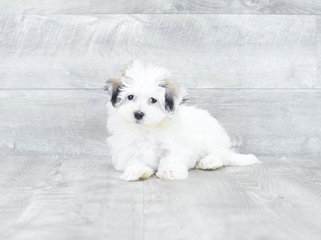 Havanese Puppies For Sale Florida Buy Puppies From