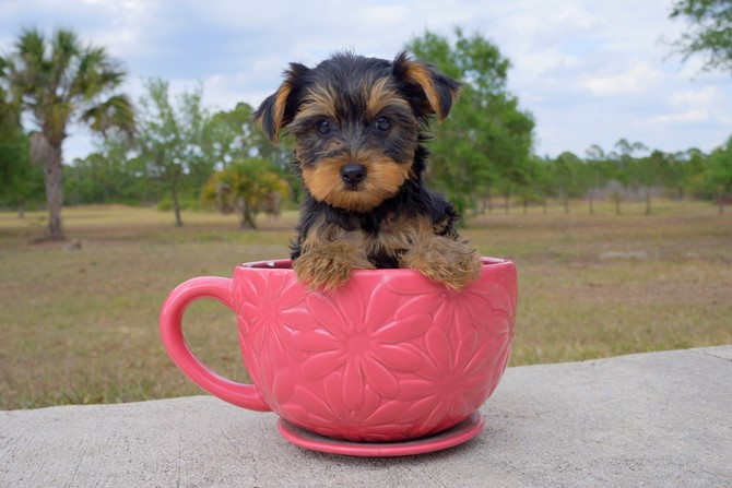 Laura is the Yorkie for sale near Miami! 4