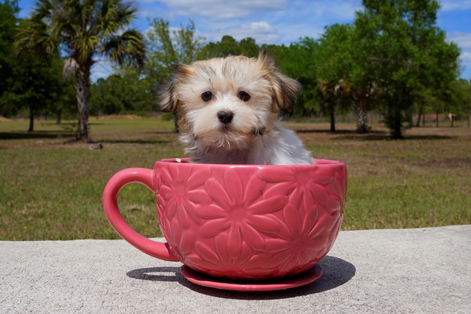 Alexa is the Havanese for sale near St. Pete! 1