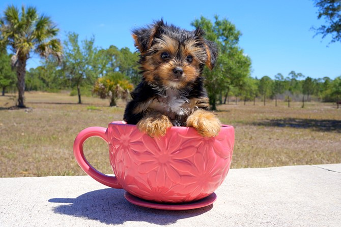 Melvin is the Yorkie for sale near St. Pete. 2