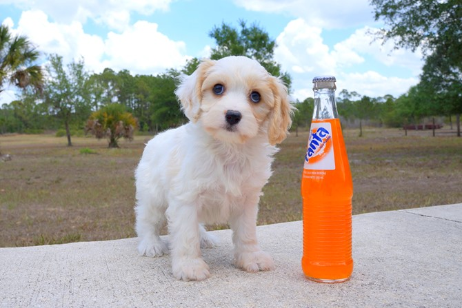 Meet Shara the Cavachon for sale near St. Pete! 4