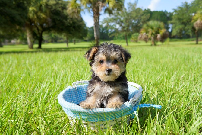 Morkie for sale! 2