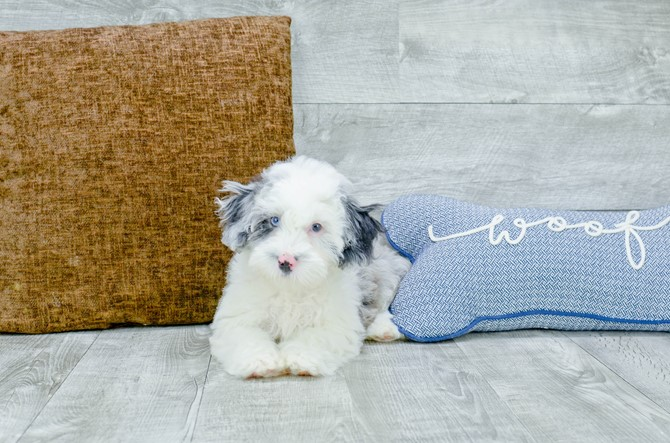 F1B Mini Sheepadoodle puppy for Sale! 1