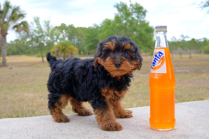 Claire is the Yorki-poo for sale in Florida! 3