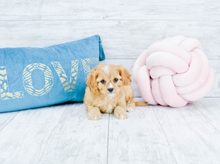 Teacup Cavapoo puppies For Sale in Florida   Cavapoo Home