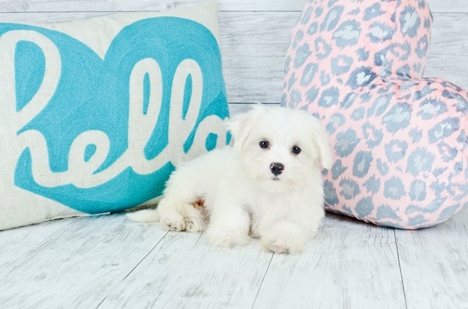 Maltese Puppy for sale! 4