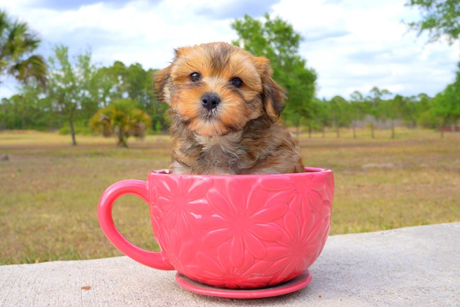 Geo is the Morkie for sale near St. Pete! 2