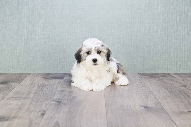 Havanese for sale!  3