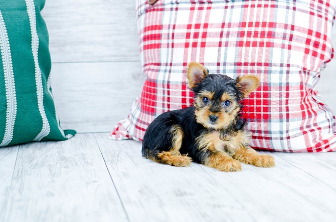 Yorkie-poo puppy for sale! 3