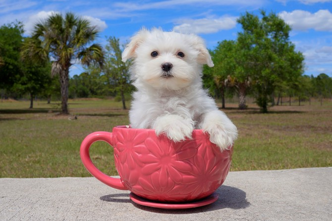 James is the Maltese for sale near Orlando! 2