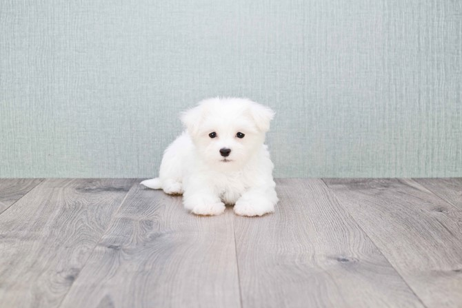 Maltese for sale! 3