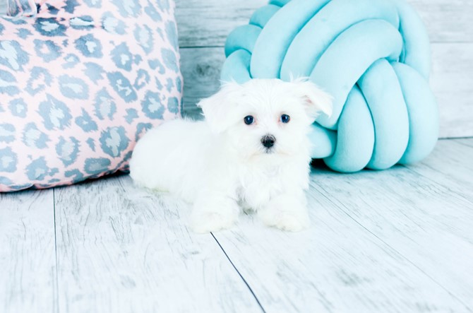 Maltese Puppy for sale! 6