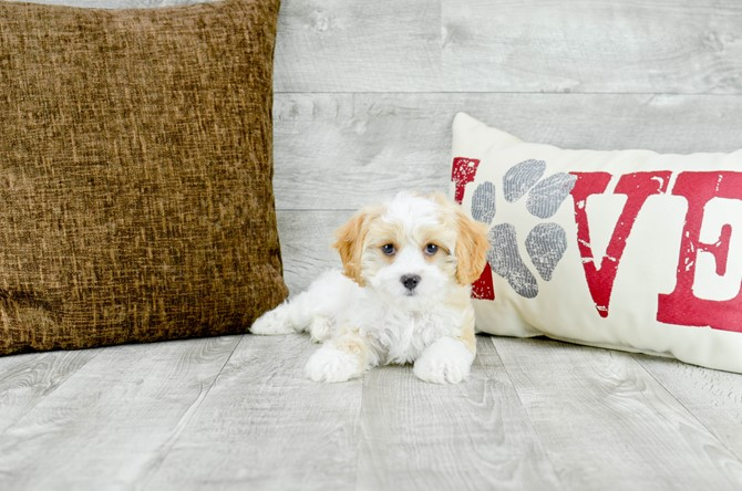 Cavachon puppy for sale! 1