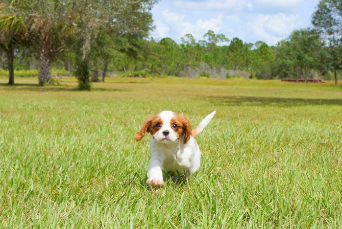 Cavalier puppy for sale! 3