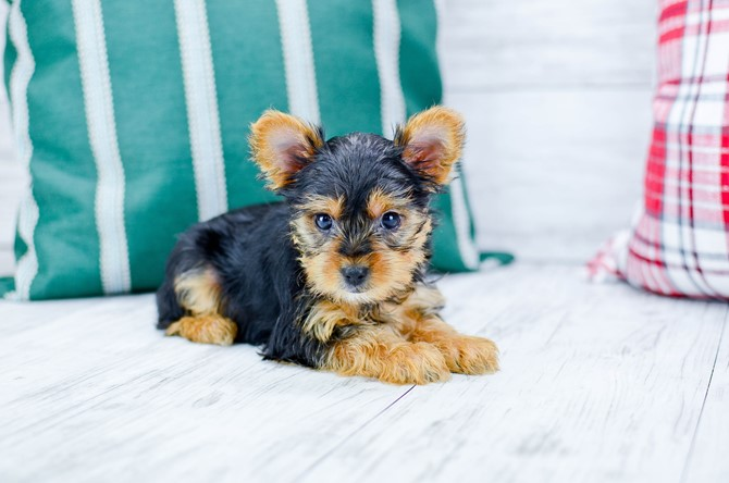 Yorkie-poo puppy for sale! 4
